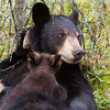 Image of Lily and her two cubs Hope and Faith nursing May 2011. This is a mixed age litter with Hope born in 2010 and Faith in 2011. Ursus americanus (American Black Bear).