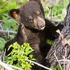 Image of Faith taken May 2011. Faith was spending the day with her mother Lily and sister Hope in a clear cut digging for ant larvae. She is standing next to one of the few large trees left in the clear cut for safety. Faith was born in 2011. Ursus americanus (American Black Bear).