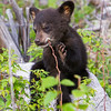Image of Faith chewing on a stick. I think it looks like she's cleaning her teeth after digging for ant larvae. Faith was born in 2011. Ursus americanus (American Black Bear).
