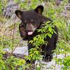 Image of Faith taken May 2011. Ursus americanus (American Black Bear).