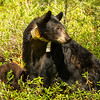Image of Jewel and her two cubs Fern and Herbie taken June 2012.  Jewel was born in 2009. Ursus americanus (American Black Bear).