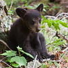 Image of Hope as a cub taken May 2010 4 days after she was reunited with her mother Lily. This was my first time photographing Hope and she seemed so small at the time. Ursus americanus (American Black Bear).