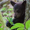 Image of Hope as a cub taken May 2010 4 days after she was reunited with her mother Lily.  Ursus americanus (American Black Bear).
