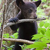 Image of Hope as a cub taken May 2010 4 days after she was reunited with her mother Lily.  She spent quite a bit of time playing with this dead branch.  Ursus americanus (American Black Bear).