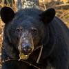 Image of Jewel taken April 2012.  Jewel was born in 2009. Ursus americanus (American Black Bear).