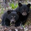 Image of June's cubs Jewel and Jordan taken May 2009. Cubs were born in January 2009. Ursus americanus (American Black Bear).