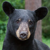Image of Jewel taken July 2011.   Jewel were born in January 2009. Ursus americanus (American Black Bear).
