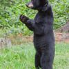 Image of Jewel taken August 2010.   Jewel were born in January 2009. Ursus americanus (American Black Bear).