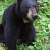 Image of Jo taken June 2011. Jo was born in 2008. Ursus americanus (American Black Bear).