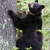 Image of Jo taken May 2011.   She is checking on her cub Victoria whoi is resting a tree nearby (not this tree). Jo was born in 2008. Ursus americanus (American Black Bear).