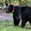 Image of Jo taking August 2011. Jo was born in 2008 and is decorated with colorful ribbons to help identity her as a collared research bear during hunting season. Ursus americanus (American Black Bear).