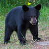 Image of Juliet's cub taken July 2010. Not sure if this is Shirley, Sharon or a Boy Named Sue as they all look the same at this age in the photographs.   The cubs were born in 2010. Ursus americanus (American Black Bear).