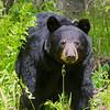 Image of Juliet taken May 2011. Juliet was born in 2003. Ursus americanus (American Black Bear).