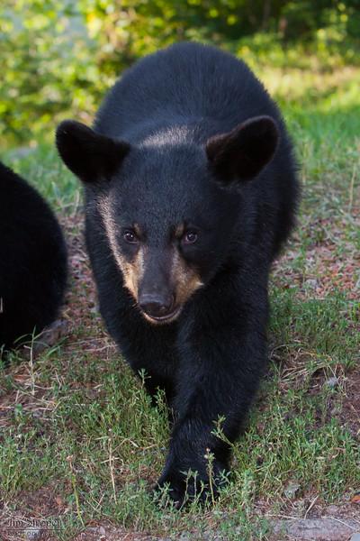 WRI-Black-Bear-9504