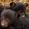 Image of two of Juliet's three cub's taken March 2012 just after leaving the den.  The cubs are still too small to travel far but water has forced them out of the den.     Ursus americanus (American Black Bear).
