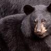 WRI-Black-Bear-7251