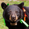 Image of Juliet taken September 2010. Juliet was born in 2003 and is decorated with colorful ribbons to help identity her as a collared research bear during hunting season. Ursus americanus (American Black Bear).