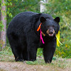 Image of Juliet taken August 2011. Juliet was born in 2003 and is decorated with colorful ribbons to help identity her as a collared research bear during hunting season. Ursus americanus (American Black Bear).