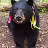 Image of Juliet taken September 2011 shortly after changing batteries in her GPS unit. She is starting to slow down and should be heading of to den soon. Juliet was born in 2003 and is decorated with colorful ribbons to help identity her as a collared research bear during hunting season. Ursus americanus (American Black Bear).
