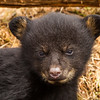 Image of one of Juliet's three cub's taken March 2012 just after leaving the den.  The cubs are still too small to travel far but water has forced them out of the den.     Ursus americanus (American Black Bear).