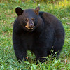 Image of Juliet's cub taken September 2010.  Winter coats have started growing in and the cubs are putting on weight before entering the den.   The cubs were born in 2010. Ursus americanus (American Black Bear).