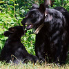 Image of Juliet and her cub taken July 2010. Not sure if this is Shirley, Sharon or a Boy Named Sue as they all look the same at this age in the photographs.   The cubs were born in 2010. Ursus americanus (American Black Bear).