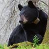 Image of June resting beside a tree taken May 2011. June was born in 2001. Ursus americanus (American Black Bear).