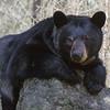 Image of June resting on a rock taken May 2011. June was born in 2001. Ursus americanus (American Black Bear).