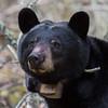 Image of June taken May 2011. June was born in 2001. Ursus americanus (American Black Bear).