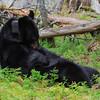 Image of June grooming herself taken May 2011. June was born in 2001. Ursus americanus (American Black Bear).