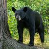 Image of Keefer taken August 2012.  Keefer was born 2004.  Ursus americanus (American Black Bear).
