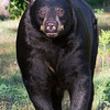 Image of RC as a taken July 2011.  RC was born in 1999. Ursus americanus (American Black Bear).