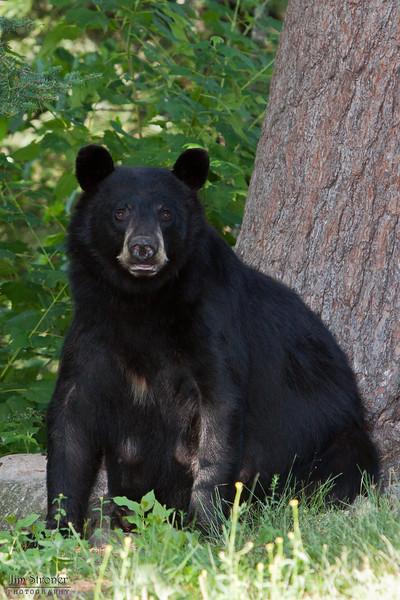 Image of RC as a taken July 2010.  RC was born in 1999. Ursus americanus (American Black Bear).