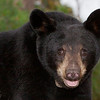 Image of Sarah taken August 2010. Sarah was born in 2009. Ursus americanus (American Black Bear).