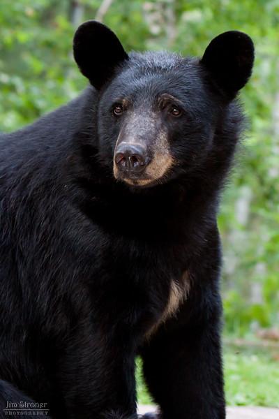 Image of Shannon taken July 2010. Shannon was born in 2005. Ursus americanus (American Black Bear).