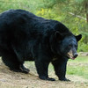 Image of Shannon taken August 2012.  The Shannon was born in 2005. Ursus americanus (American Black Bear).