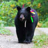 Image of Sharon taken September 2011. Sharon was born in 2010 and is decorated with colorful ribbons to help identity her as a collared research bear during hunting season. Ursus americanus (American Black Bear).