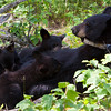 Image of Juliet nursing her cubs Sharon, Shirley and a Boy Named Sue taken July 2010. Juliet was born in 2003 and the cubs in 2010. Ursus americanus (American Black Bear).