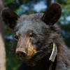 Image of Sharon taken July 2011 after family breakup.   She is wearing the small collar used to track her movements during family breakup.  Sharon was born in 2010. Ursus americanus (American Black Bear).