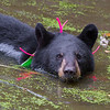 Image of Shirley cooling off in a pond taking September 2011. Shirley was born in 2010 and is decorated with colorful ribbons to help identity her as a collared research bear during hunting season. Ursus americanus (American Black Bear).