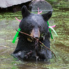 Image of Shirley cooling off in a pond taking August 2011. Shirley was born in 2010 and is decorated with colorful ribbons to help identity her as a collared research bear during hunting season. Ursus americanus (American Black Bear).