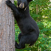 Image of Shirley taken July 2011 after family breakup.   She is wearing the small collar used to track her movements during family breakup.  Shirley was born in 2010. Ursus americanus (American Black Bear).