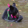 Image of Shirley cooling off in a pond taking August 2011. She is playing with a small stick she found in the pond. Shirley was born in 2010 and is decorated with colorful ribbons to help identity her as a collared research bear during hunting season. Ursus americanus (American Black Bear).