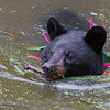 Image of Shirley cooling off in a pond taking August 2011. She is swimming across the pond with a small stick in her mouth - I have no idea why :') Shirley was born in 2010 and is decorated with colorful ribbons to help identity her as a collared research bear during hunting season. Ursus americanus (American Black Bear).