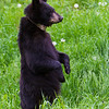 Image of Shirley taken June 2011 after family breakup.   She is wearing the small collar used to track her movements during family breakup.  Shirley was born in 2010. Ursus americanus (American Black Bear).