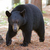Image of Star taken May 2011. Star was born in 2009. Ursus americanus (American Black Bear).