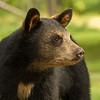 Image of Summer's cub Mocha taken August 2012.  The Mocha were born in 2012. Ursus americanus (American Black Bear).