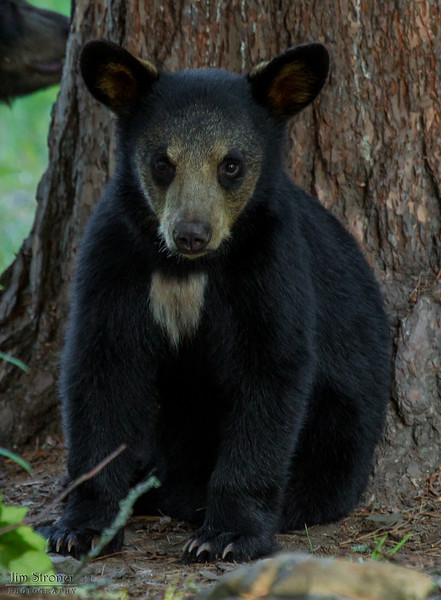 Image of Summer's cub taken August 2012.  Summer was born in 2009 and her cubs in January 2012.   Ursus americanus (American Black Bear).