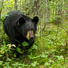 Image of Ursula approaching in a cedar swanp taken August 2012.  Ursula was born in 2005. Ursus americanus (American Black Bear).