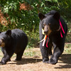 Image of Ursula and cub taking August 2011. Ursula was born in 2003 and is decorated with colorful ribbons to help identity her as a collared research bear during hunting season. Ursus americanus (American Black Bear).